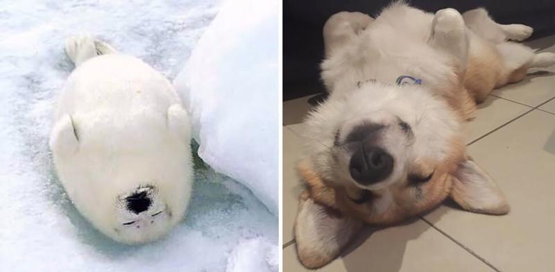 6.  животные, собака, сходство, тюлень
