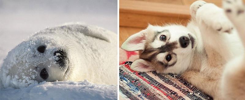 33.  животные, собака, сходство, тюлень