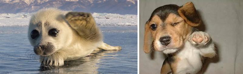 12.  животные, собака, сходство, тюлень