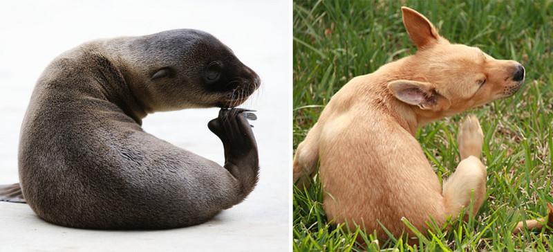 15.  животные, собака, сходство, тюлень