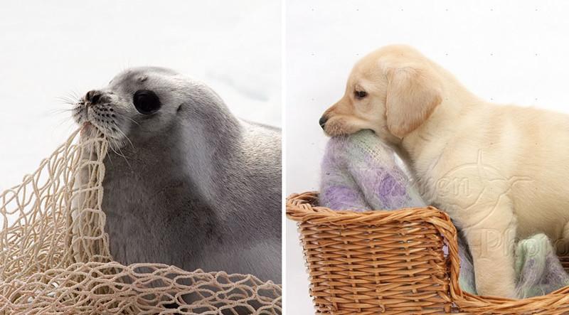 5.  животные, собака, сходство, тюлень