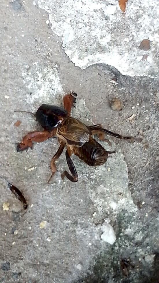 1. Этот довольно пугающий жук называется медведкой австралия, животные, особенность