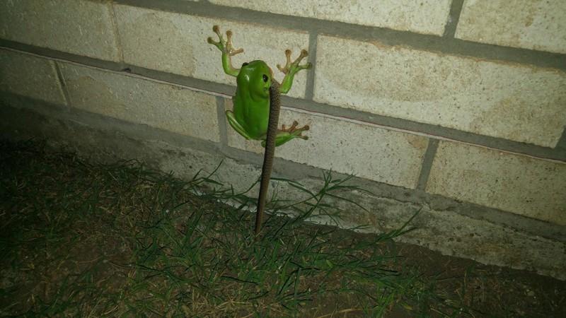 4. Да тут и лягушки могут справиться со змеями  австралия, животные, особенность