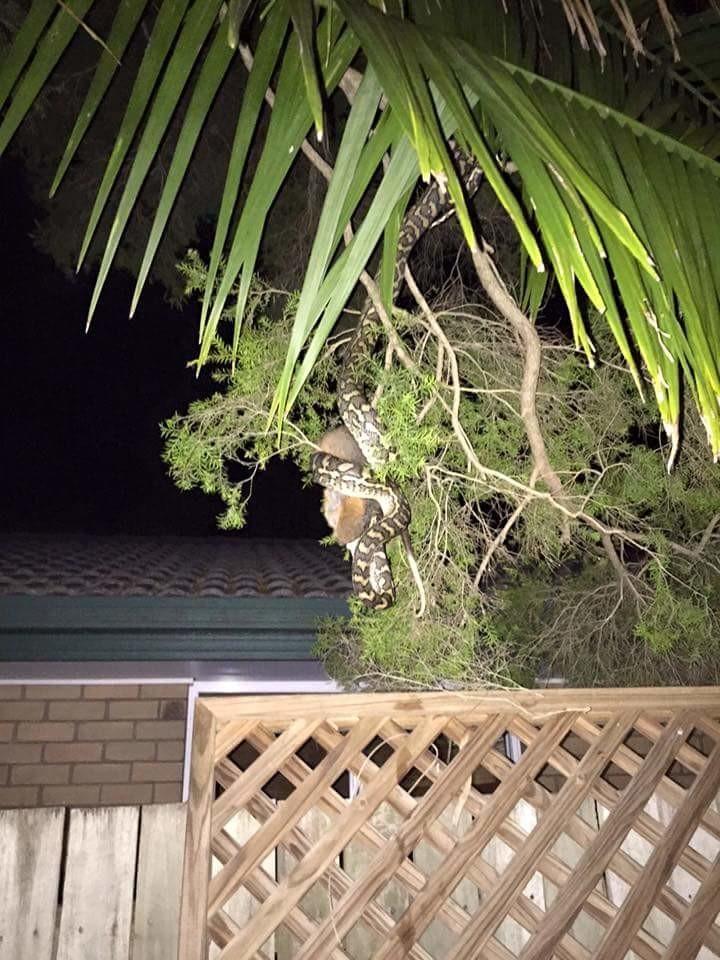 3. Обычное явление: змея душит жертву на дереве прямо во дворе жилого дома  австралия, животные, особенность