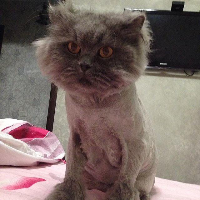 18.  животные, котт, кошка, прическа, стрижка