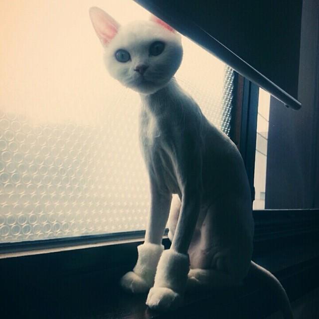 12.  животные, котт, кошка, прическа, стрижка