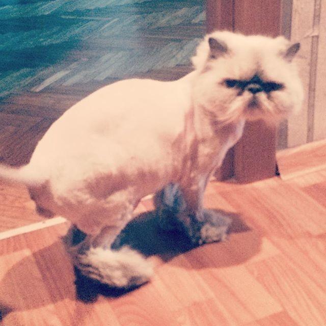 3.  животные, котт, кошка, прическа, стрижка