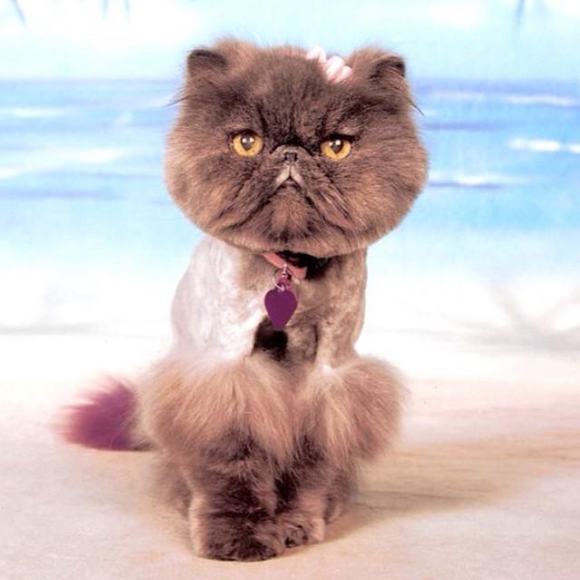 16.  животные, котт, кошка, прическа, стрижка