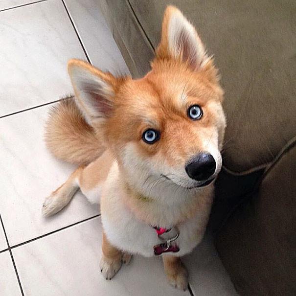 Недавно фотография Майи появилась на сайте Reddit  животные, помски, хаски, шпиц