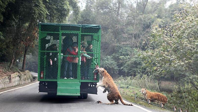Посетителей сажают в специальный грузовик, напоминающий клетку, и начинается поездка по зоопарку  животные, зоопарк, китай, хищник
