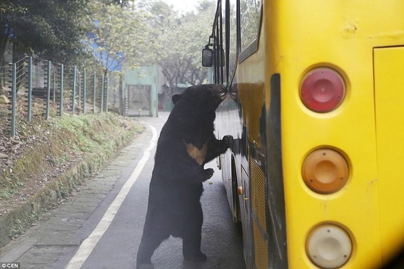 По зоопарку можно проехаться и на автобусе.  животные, зоопарк, китай, хищник