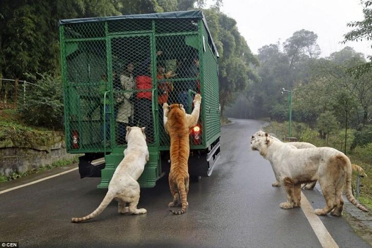 Это, конечно, не контактный зоопарк, но это лучшая возможность встретиться с хищниками лицом к лицу животные, зоопарк, китай, хищник