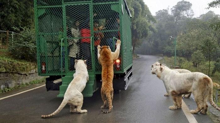 Уникальный китайский зоопарк, в клетках которого сидят люди  животные, зоопарк, китай, хищник