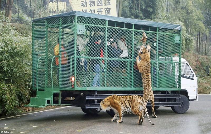 Невероятная возможность так близко увидеть опасных хищников.  животные, зоопарк, китай, хищник