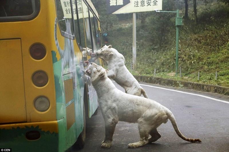 """""""Это не мы смотрим на них, а они - на нас, и мы для них - обед"""", - поделился впечатлениями Тао Йен.  животные, зоопарк, китай, хищник"""