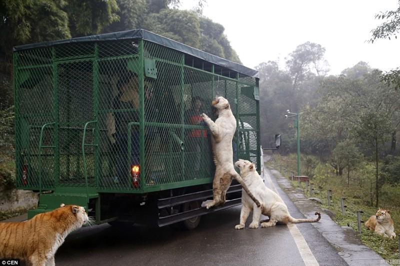 Конечно, запрещается высовывать пальцы из клетки, ведь голодные тигры могут принять их за лакомство  животные, зоопарк, китай, хищник