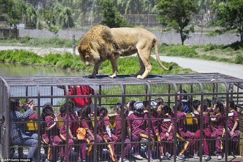 Этот зоопарк пользуется невероятной популярностью, входной билет практически невозможно купить животные, зоопарк, китай, хищник