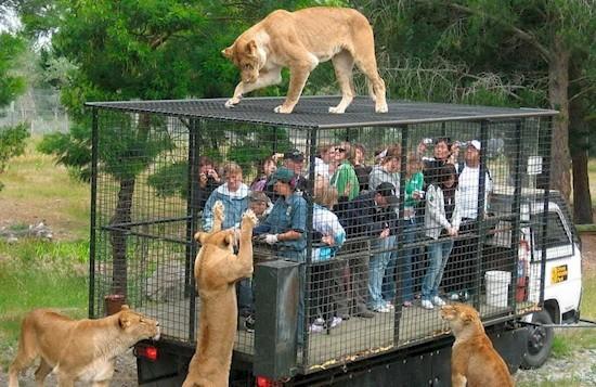 Все же лучше накрыть крышу клетки брезентом  животные, зоопарк, китай, хищник