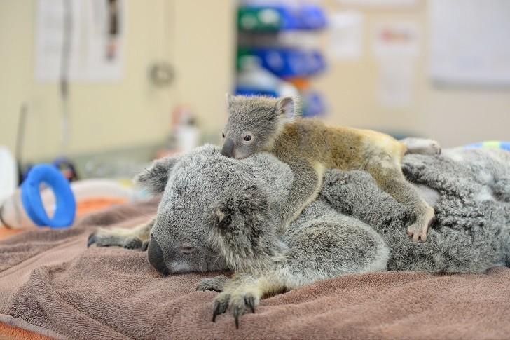 Малыш коала не отошел от матери во время операции животные, коала