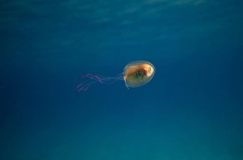 Попала в ловушку: удивительная фотография рыбки внутри медузы животные, медуза, рыба