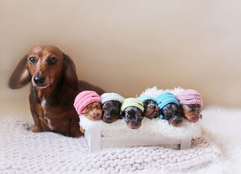Нежная фотосессия таксы и ее шестерых малышей животные, такса, фотосессия, щенок