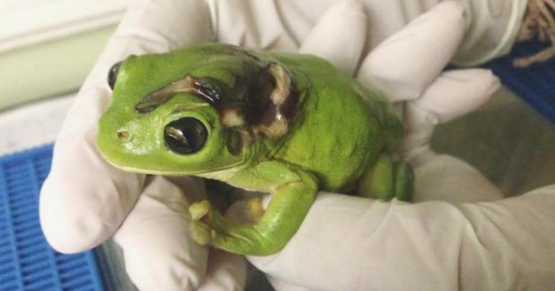 Австралийка преодолела 1000 километров, чтобы отвезти в госпиталь лягушку доброта спасет мир, животные, защитники природы