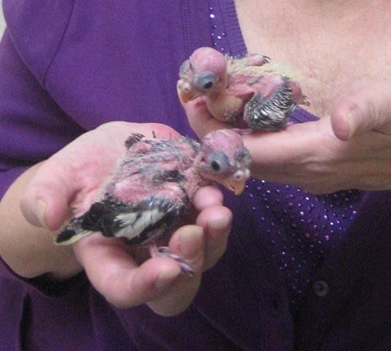 Что делать, если вы нашли птенца, выпавшего из гнезда животные, птенец, спасение