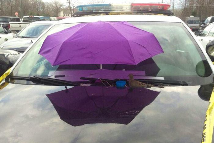 Птица свила гнездо на капоте полицейской машины, но больше всего удивляет реакция полицейских гнездо, машина, полиция