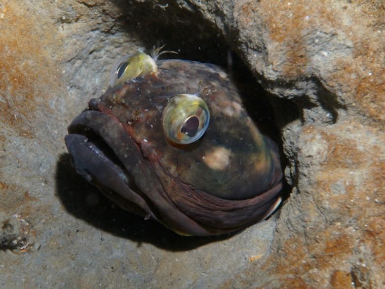 12. Neoclinus blanchardi животные, океан, существо