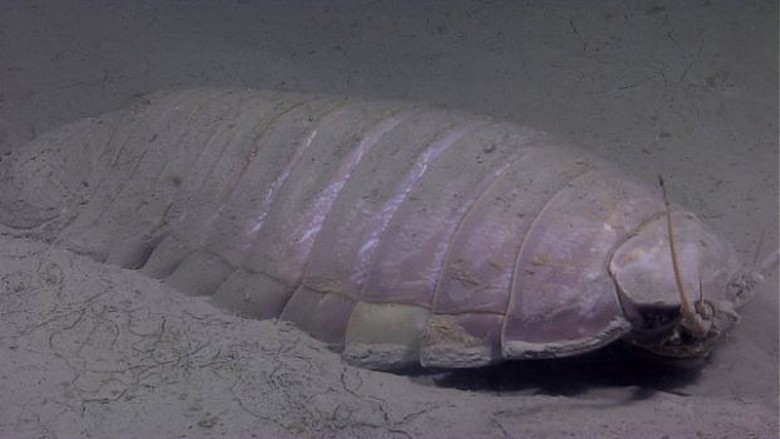 9. Гигантский изопод животные, океан, существо