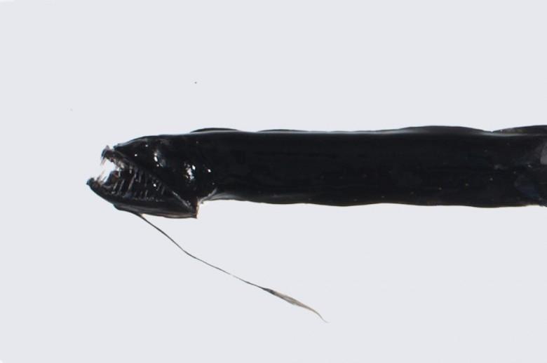 11. Морской дракон животные, океан, существо