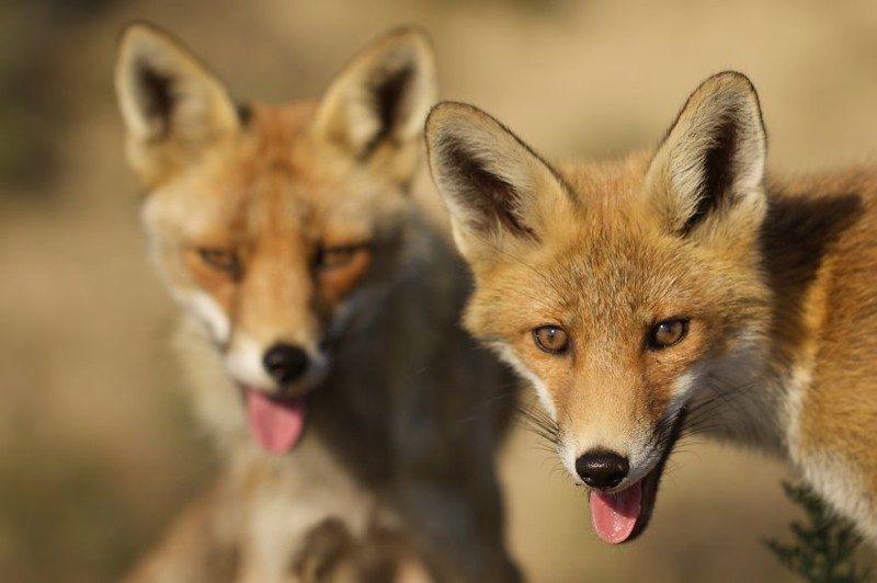Восхитительные фотографии лис из Нидерландов животные, лисы, фотография