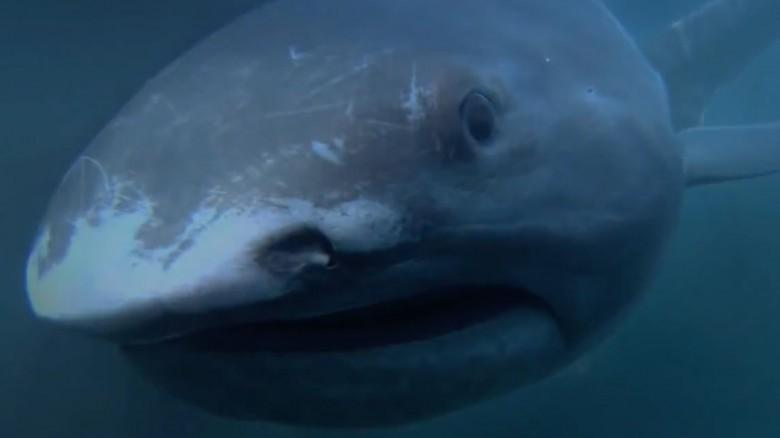 12. Пелагическая большеротая акула животные, обитатель, океан