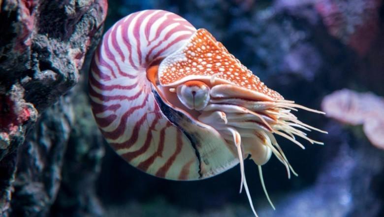 1. Наутилус помпилиус животные, обитатель, океан