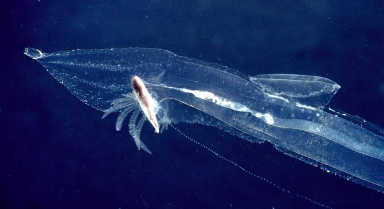 7. Pterotrachea животные, обитатель, океан