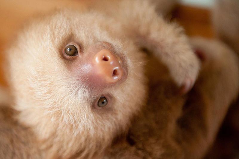 Детский дом для малышей ленивцев, оставшихся без мам животные, факты