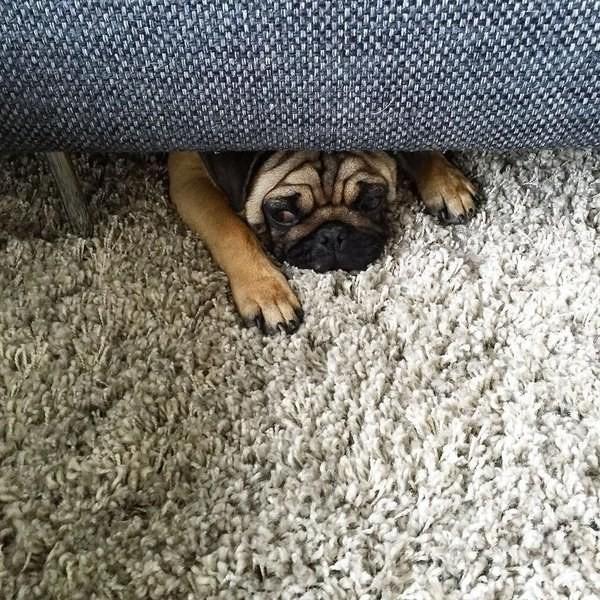 11. Этот ковёр он всегда ненавидел. животные, собаки, фото, юмор