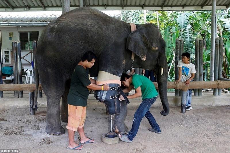 Слонихе Моше сделали девятый уникальный протез ноги животные, нога, протез, слон
