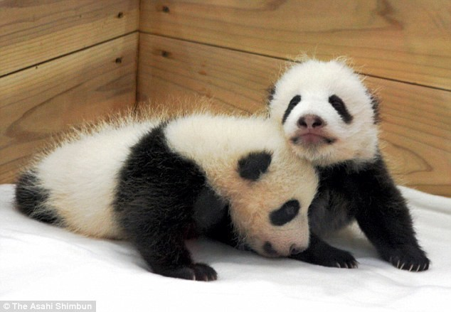 И еще немного черно-белых близняшек: эти медвежата родились 8 октября 2008 года в японском зоопарке Adventure World животные, милота, панды