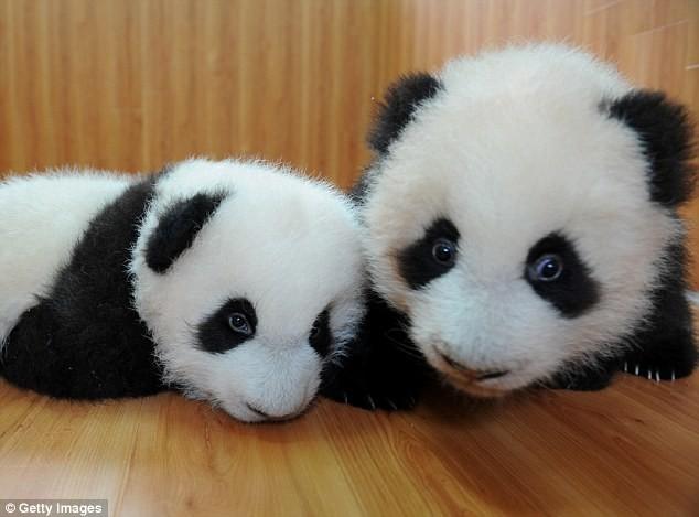 А эти милахи родились в центре по защите и исследованию больших панд в Чэнду в 2008 году животные, милота, панды