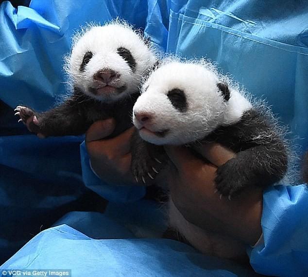 Одна из шести пар близнецов, появившихся на свет в прошлом году в центре по разведению больших панд в Чэнду животные, милота, панды