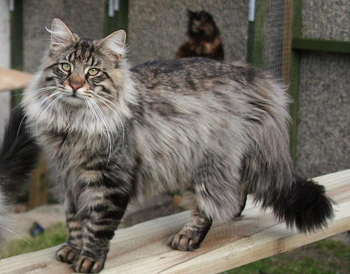 Норвежская лесная кошка животные, факты