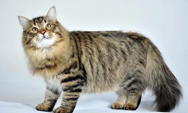 5-е место: Сибирская кошка животные, факты