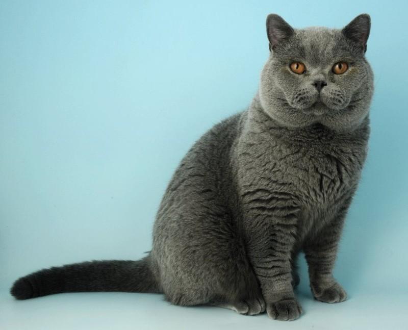 4-е место: Британская кошка. животные, факты