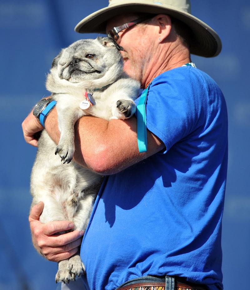 В этом году конкуренция была особенно жесткой. 13-летний мопс Грови, страдающий диабетом, сражался за корону до последнего. животные, самая уродливая собака в мире, собаки