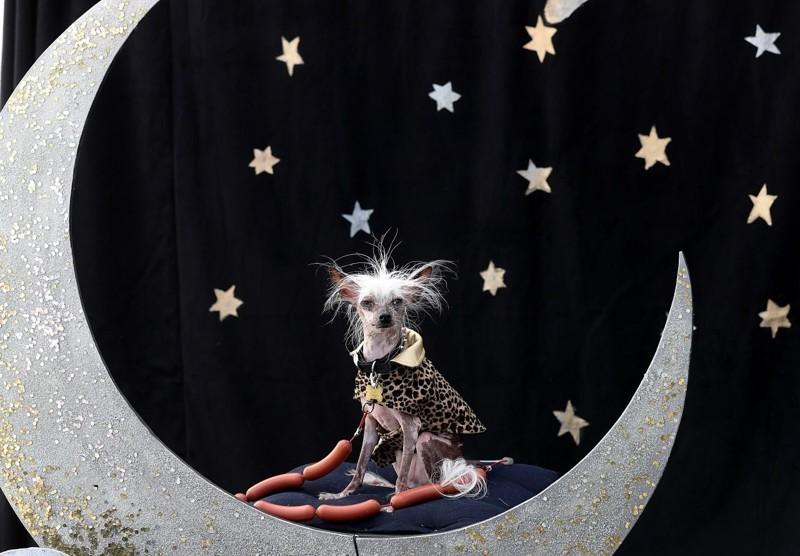 Любимчиком публики стал практически безволосый и беззубый Раскал Дез, который происходит из рода победителей конкурса на самую уродливую собаку.  животные, самая уродливая собака в мире, собаки