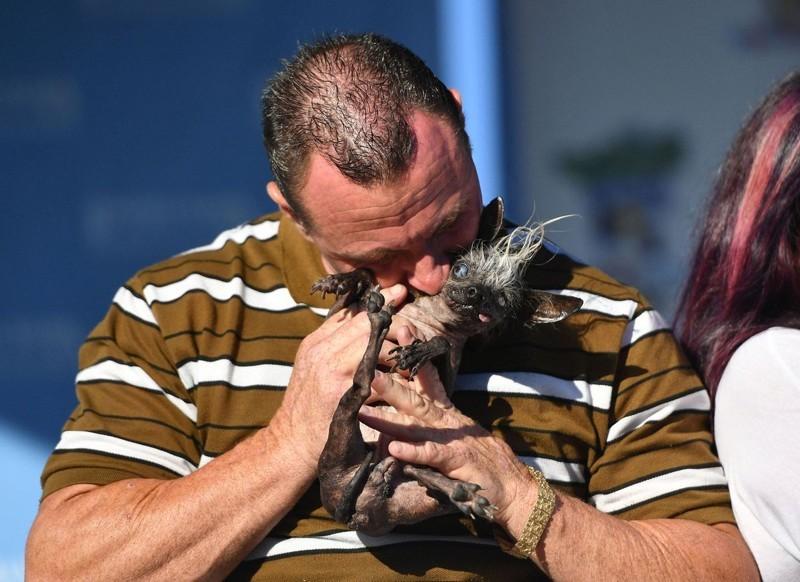 Хозяин победителя, Джейсон Вурц, заявил, что СвиПи «его самый лучший в жизни друг», и что он брал собаку с собой на работу последние 17 лет.  животные, самая уродливая собака в мире, собаки