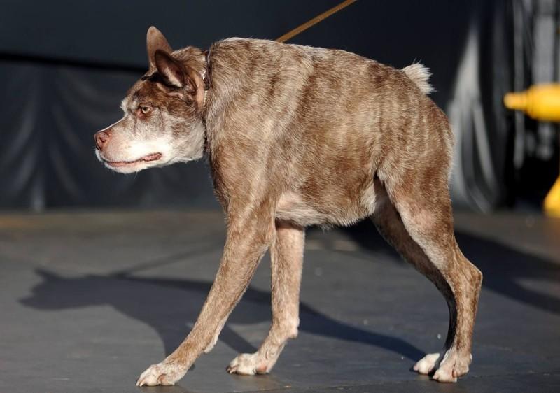 В прошлом году конкурс выиграл 10-летний Квази Модо, помесь питбуля и голландской овчарки с врожденным дефектом позвоночника. животные, самая уродливая собака в мире, собаки