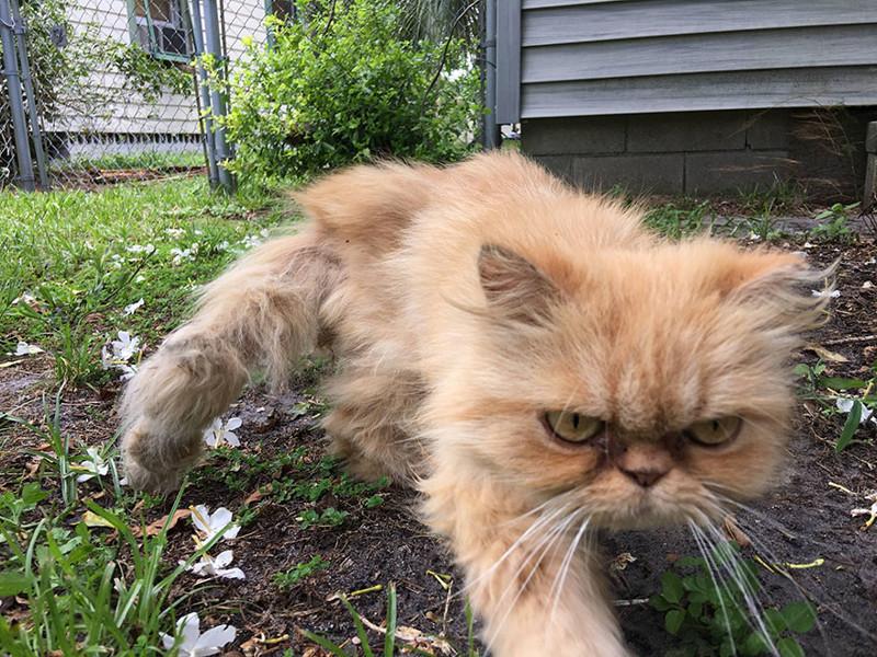 Сердитый кот обрел хозяев, но по-прежнему всем недоволен животные, кот, хозяин