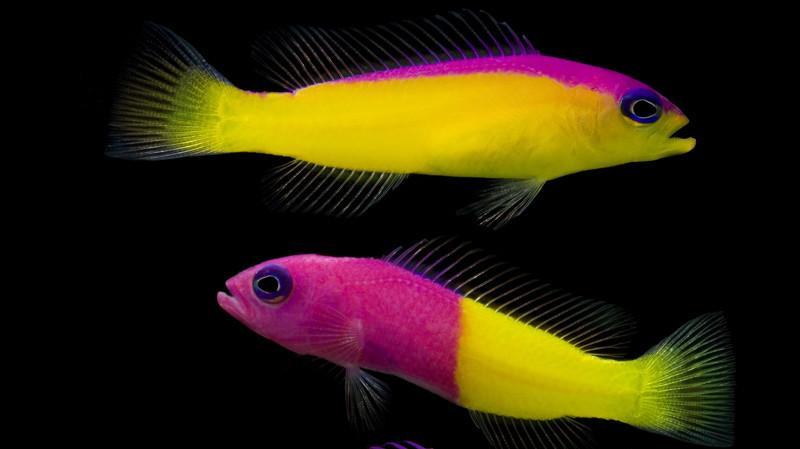 Грамма двухцветная    животные, фотограф, цвета